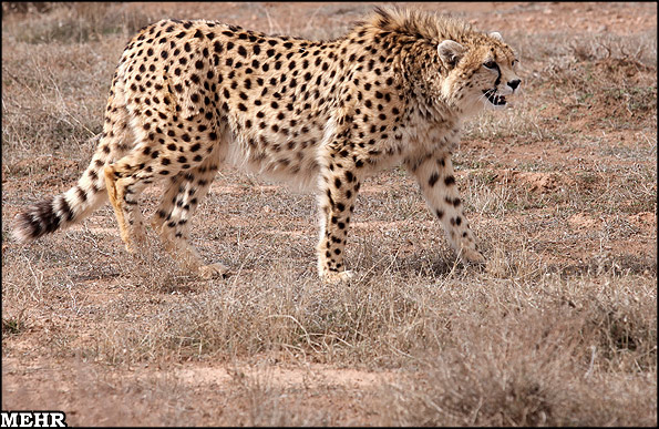 BBC: Iran's endangered cheetahs are a unique subspecies
